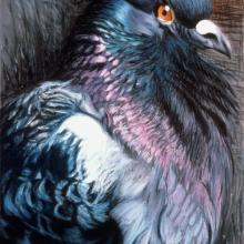 090 Puffed-Up Pigeon
